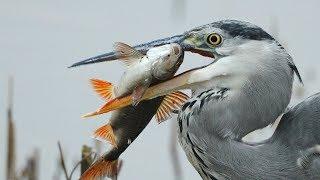 Download Graureiher und Kormoran am Fischen Video