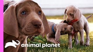 Download Weimaraner Puppies Get Ready To Celebrate Their First Christmas!   Too Cute! Video