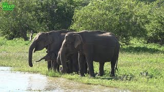 Download Beautiful elephant herd having the time of their life in Yala National Park Video