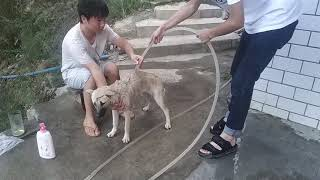 Download 40度高温,主人给田园犬洗澡,洗完颜值不止提升一个档次 Video