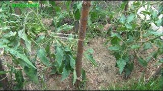 Download Jak uprawiać pomidory? 5 najważniejszych aspektów domowej uprawy Video