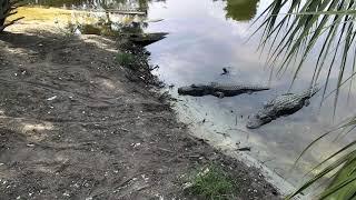 Download Alligator Swamp and Spoonbills Cam 09-17-2018 12:48:47 - 13:48:48 Video