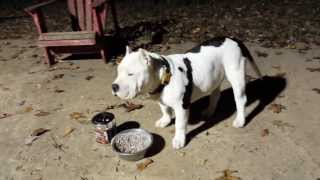 Download Bully Max pitbull supplement results Video