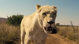 Download Lions Can Be Bitchy?? | The Lion Whisperer Video
