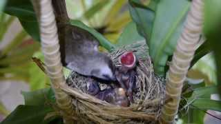 Download Baby Birds Eating and Pooping (Yellow-Vented Bulbul) Video