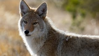 Download 13 Coyote Facts Video