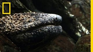 Download Giant Salamander As Big As a Dog | National Geographic Video