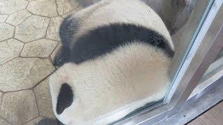 Download 【かわいい♥】結浜、目の前でごろん♪ 眠そうだけどまだ寝ない?? ~聴いて癒されるパンダ動画~ Video