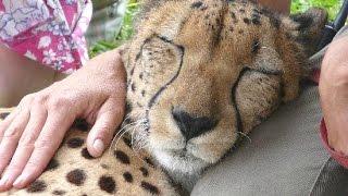 Download Cheetah Purring - A Cute Big Cat Videos Compilation Video