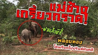 Download ลูกช้างหนีเเม่มาเที่ยว เเม่จับได้ร้องหาใหญ่เลย 55 พลายพลอยทอง baby elephant Video