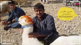 Download Mundra Chatra Bakra Mandi saste janwar Khubsurat Mandir Video