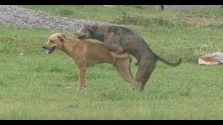 Download Summer StreetDogs!! Rhodesian Ridgeback Vs Golden Retriever in MAZAYA VLOGS Village. Video