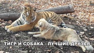 Download ТИГР И СОБАКА - ЛУЧШИЕ ДРУЗЬЯ Video