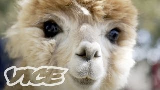 Download Cute Alpacas! Video