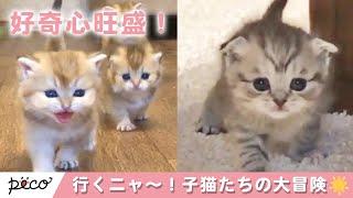 Download みんな〜!行くよ〜!🐱 好奇心旺盛な子猫達の大冒険✨ 【PECO TV】 Video