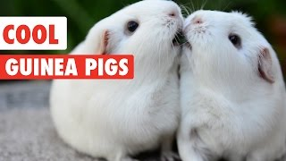 Download Cool Guinea Pigs Video Compilation 2017 Video