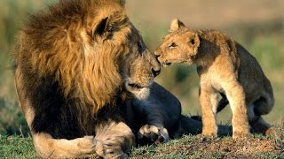 Download Africa Lions: Documentary on the Lions of South Africa's Kruger National Park Video