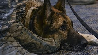 Download Years After She Was Separated From Her Sergeant, This Military Dog Heard Him Calling Her Name Video