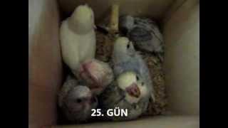 Download muhabbet kuşu yavruları Video