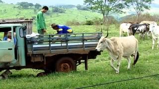 Download Fazenda Isolina - Curando bezerro, Vaca nervosa HD Video