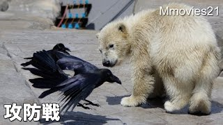 Download Cub vs Crows in lunch time こぐま vs カラス Video