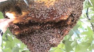 Download Successful Bee Hive Removal Video