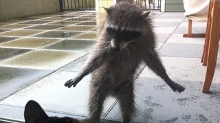 Download Cats Encounter With A Raccoon Video