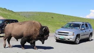 Download YELLOWSTONE - Close encounters with WILD LIFE Video