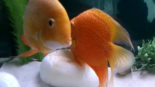 Download Para severum: red i gold podczas skladania ikry Video