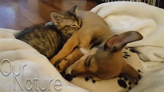 Download Puppies Meeting Kittens For The Very First Time Compilation 2018 (BEST FUNNY ANIMAL COMPILATION) Video
