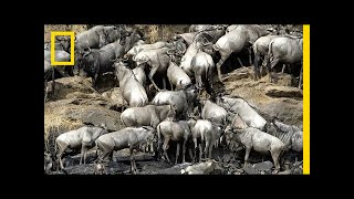 Download How 2 Million Pounds of Wildebeest Carcasses Help the Serengeti   National Geographic Video