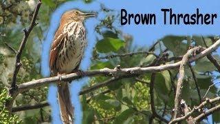 Download Brown Thrasher Singing - Name doesn't fit - Won't stop singing Video