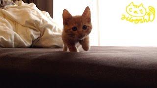 Download 茶トラ子猫「ひろし」こっちおいで~・・・おいで・・・・・・・遅っ!! / Tabby cat Hiroshi: Hiding in bed Video