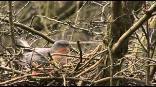 Download FIRST 15 MINUTES OF THE SECRET LIFE OF THE SPARROWHAWK DVD Video
