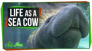 Download Life as a Sea Cow Video