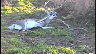 Download Dead Deer Comes Back to Life! Video