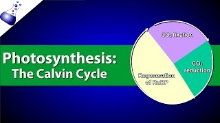 Download The Calvin Cycle Video