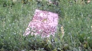 Download Snail farm hodowla ślimaka helix aspersa muller SP Video