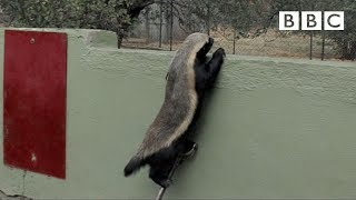 Download Honey Badger Houdini - Honey Badgers: Masters of Mayhem - Natural World - BBC Two Video
