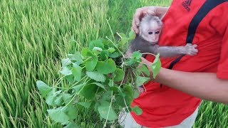 Download Baby Monkey Doo And Daddy / Picking Pennywort - Funny Animals Video