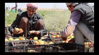 Download Inadequate employment conditions persist in Jordan's agricultural sector Video