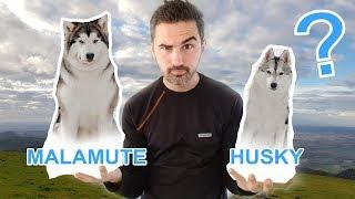 Download Husky VS Malamute: Husky sibérien ou Malamute d'Alaska? Video