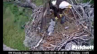 Download M15 & Harriet alarm call, Harriet leaves nest, cam goes down for E8's rescue - SW Florida Bald Eagle Video