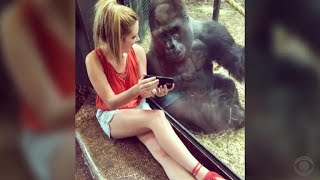Download Internet falls in loves with smartphone-loving gorilla Video