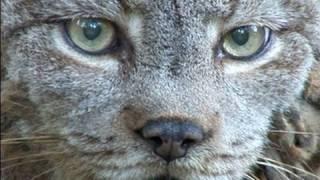 Download CANADIAN LYNX - Species Spotlight Video