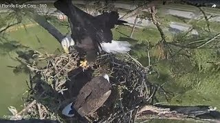 Download SWFL Eagles. ~ Harriet & M15, Ready For The New Season! Video
