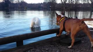 Download Mini bull terrier vs swan Video