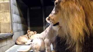 Download Lion Cubs Meet Dad - Cincinnati Zoo Video