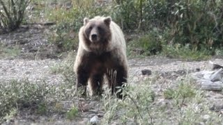 Download Hiker Taking Photos is Killed by Grizzly Bear. Video