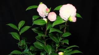 Download Camellia Japonica Time laps: Pépinières de Kervouric Video